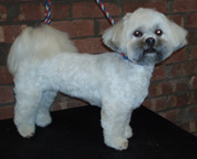 lhasa apso after haircut pictures photos image gallery Car Pictures